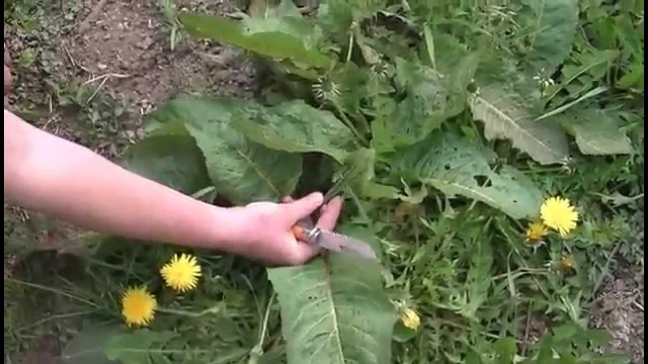 La cueillette des herbes comestibles bat son plein - La Dépêche de Kabylie
